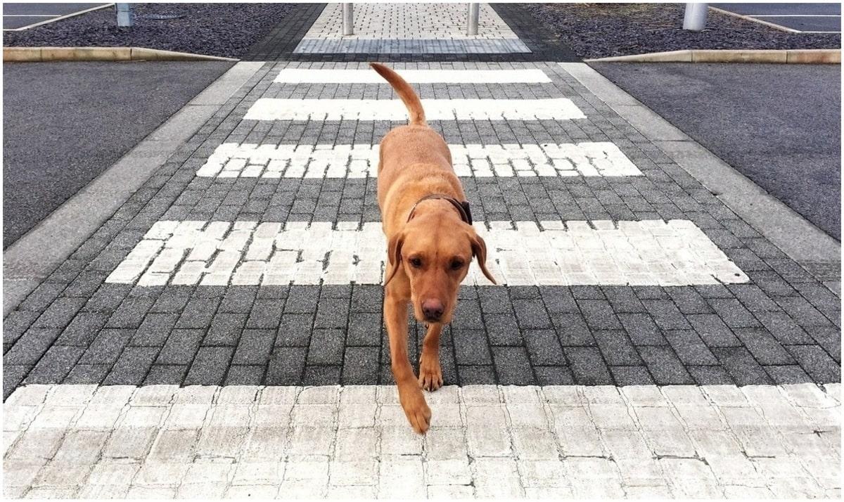 chien traversée piétonne